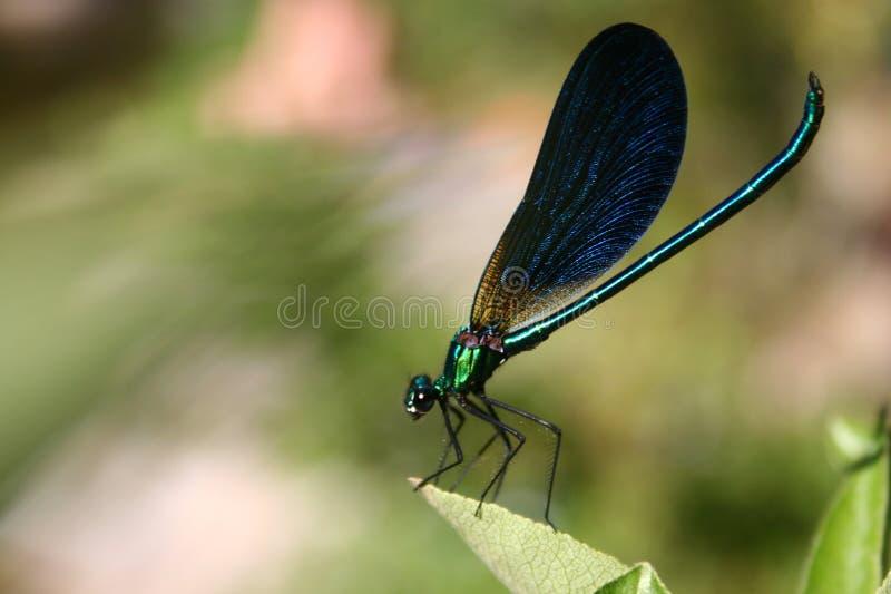 Damsel-fly foto de stock royalty free