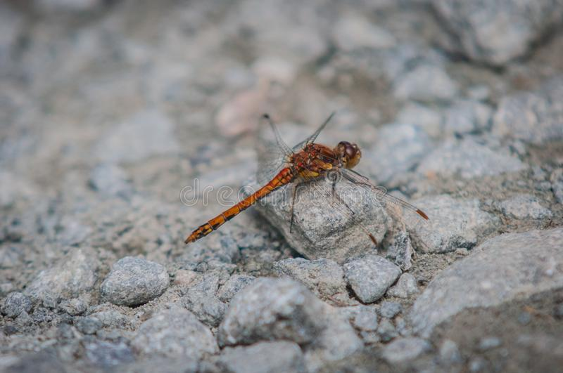 Damsel Fly. Nikon, scotland, damselfly, red, orange, wings, close, stone, path, rock, grey, small, insect stock images