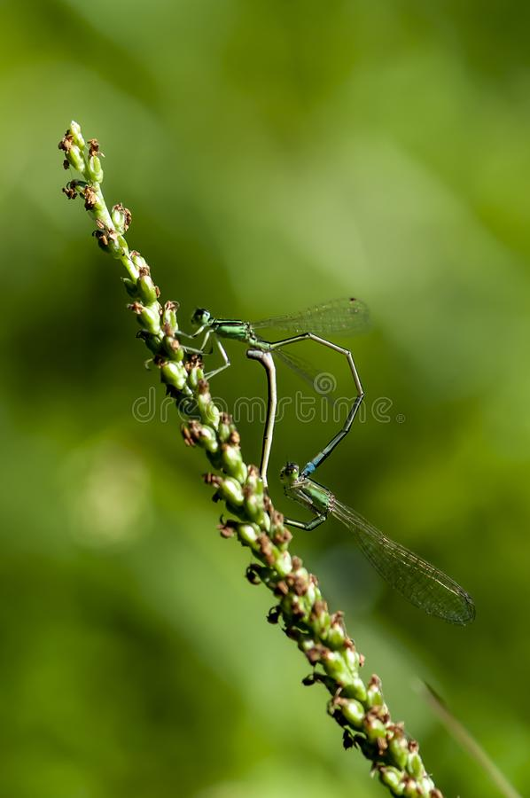 Damsel-fly. Photographed in Changchun, China stock images