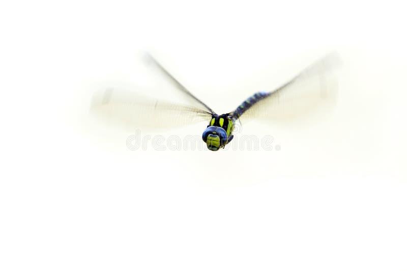 Damsel-fly do vôo foto de stock