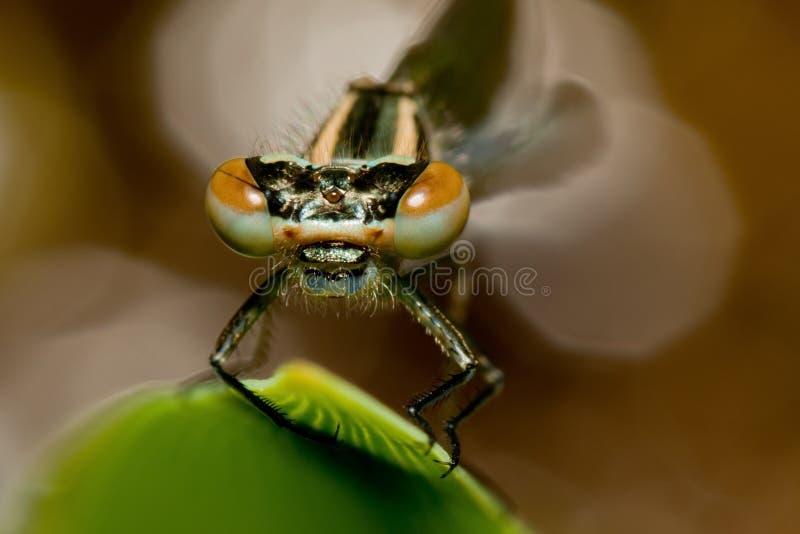 Damsel fly eyes. Close up of damsel fly head stock image