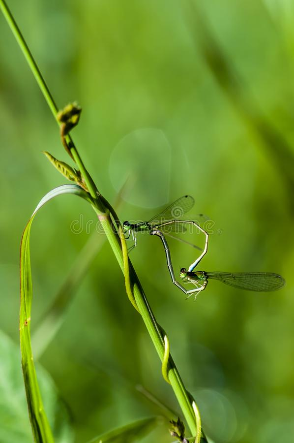 Damsel-fly. Photographed in Changchun, China stock photo