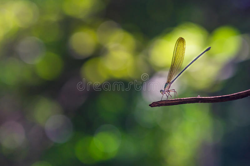 Damsel fly on a twig. Damsel fly macro, taken in Thailand, with a Sony 85MM G-master lens stock photos