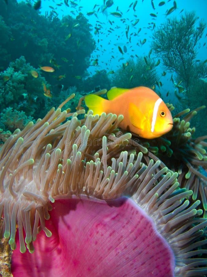 Damselfish and anemone. Indian ocean stock images