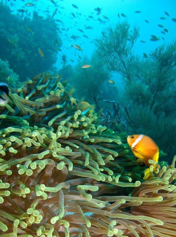 Damselfish and anemone. Indian ocean royalty free stock photos