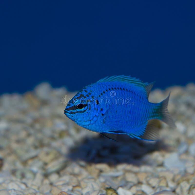 Damselfish azul fotos de stock royalty free
