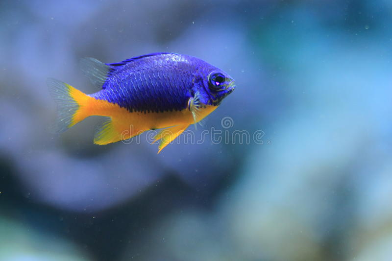 Damselfish Azure fotografia de stock