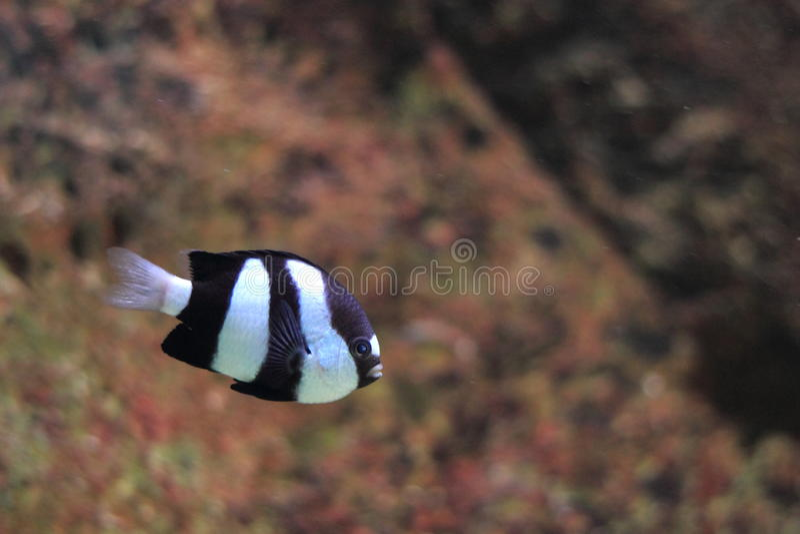 damselfish Branco-atado foto de stock