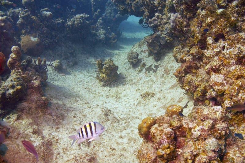 Damselfish del maggiore di sergente e barriera corallina fotografia stock libera da diritti