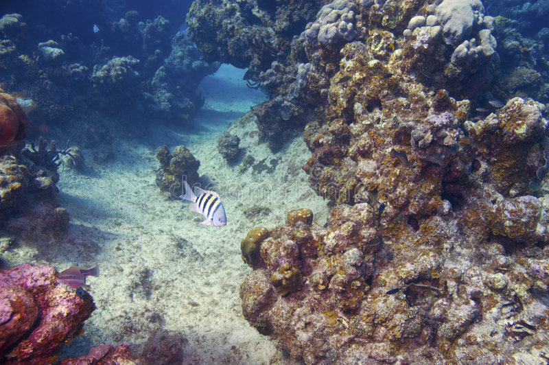 Damselfish del maggiore di sergente e barriera corallina fotografie stock