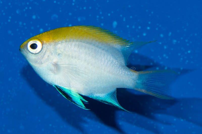 Damselfish del tonno rosso fotografie stock