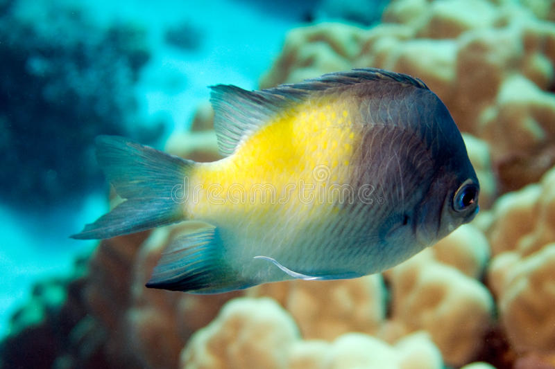 DamselFish di Yellowside, flavilatus del amblyglyphidodon immagine stock
