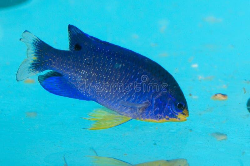 Damselfish do diabo azul no aquário imagens de stock royalty free