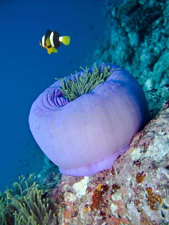 Damselfish e anemone imagens de stock