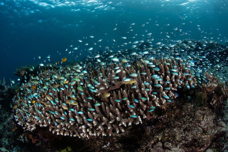 Damselfish over Koralen in Raja Ampat royalty-vrije stock fotografie