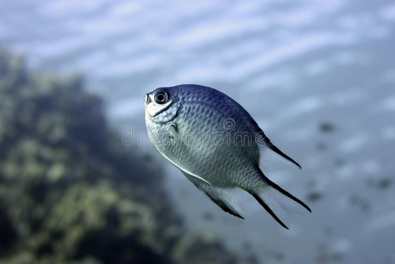 Damselfish subaquático imagem de stock royalty free