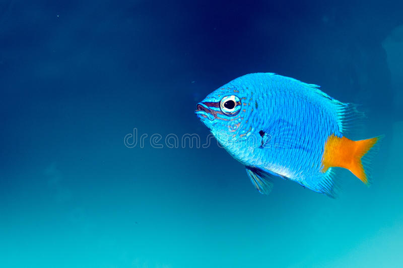 Damselfish Yellowtail (parasema Chrysiptera) стоковые фото