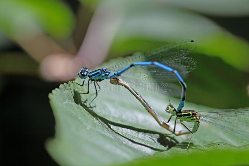 Damselflies dos azuis celestes, puella de Coenagrion imagem de stock royalty free