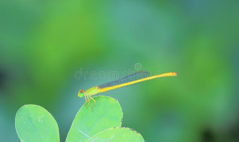 Damselflies insekty zdjęcie stock