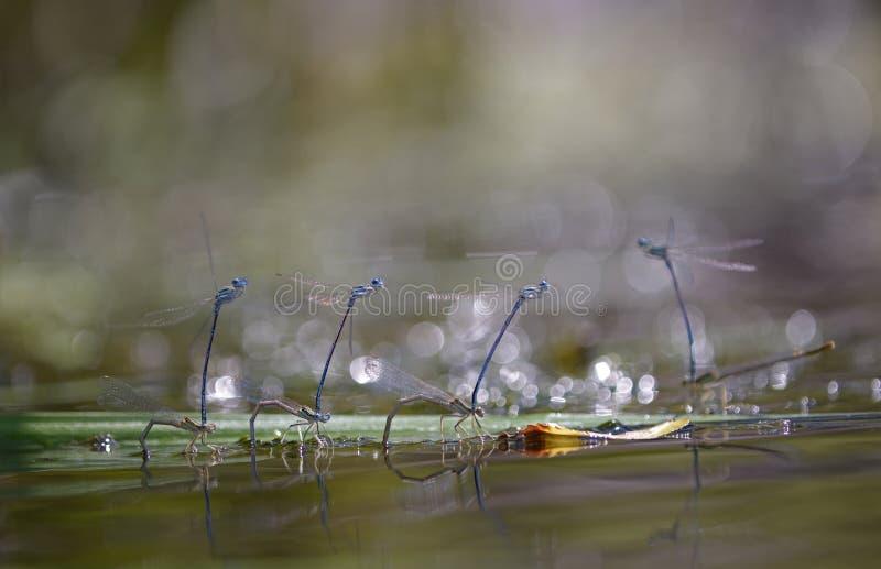 Damselflies, Lestidae, - kłaść jajka fotografia royalty free