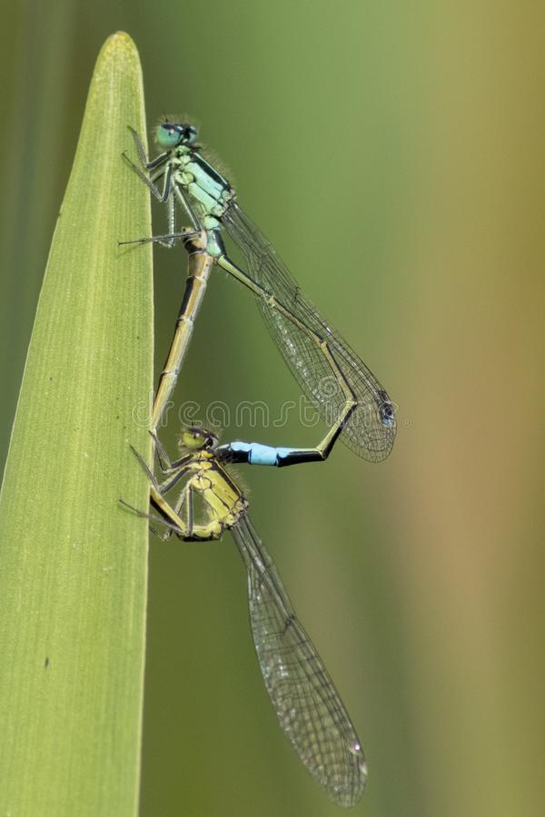 Download Damselflies Mating In A Heart Shape  On A Leaf Stock Photo - Image of heart, antennae: 116469172