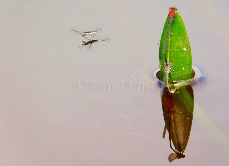 Damselflies matuje na wodnej lelui pączku fotografia royalty free