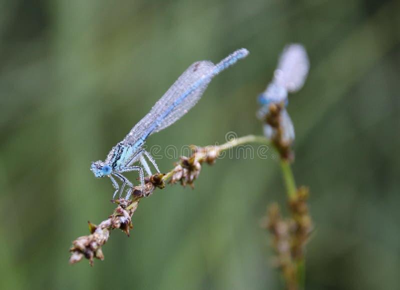 Damselflies s? insektami suborder Zygoptera w rozkazu Odonata fotografia stock