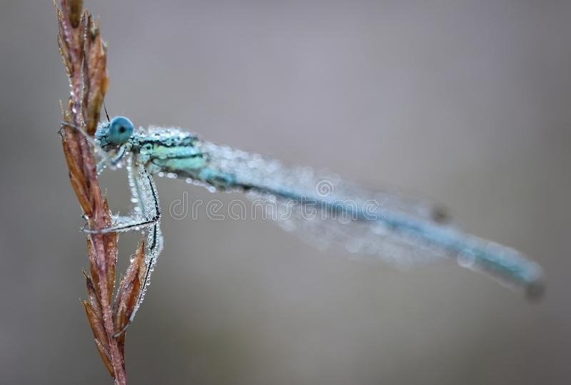 Damselflies s? insektami suborder Zygoptera w rozkazu Odonata obrazy stock
