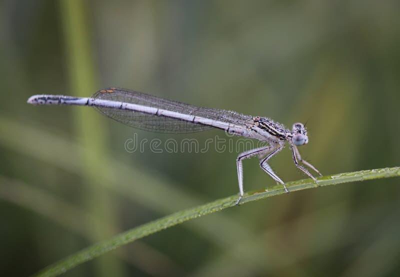 Damselflies s? insektami suborder Zygoptera w rozkazu Odonata zdjęcia stock