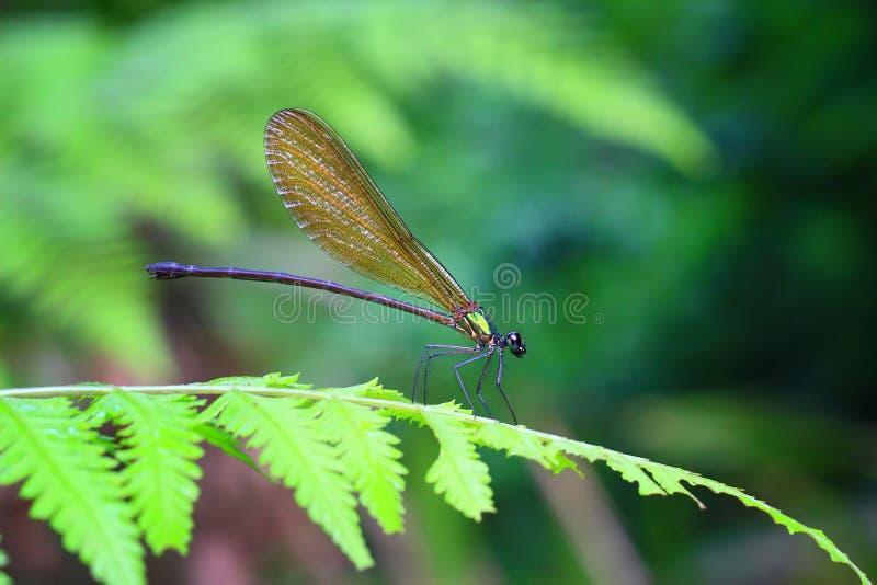 Damselflies Zielony kolor zdjęcie royalty free