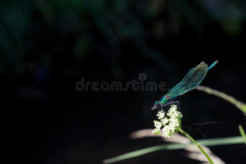 Damselfly stock foto's