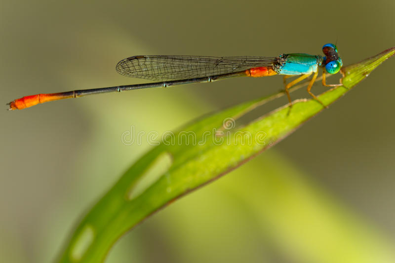 Damselfly stockbilder
