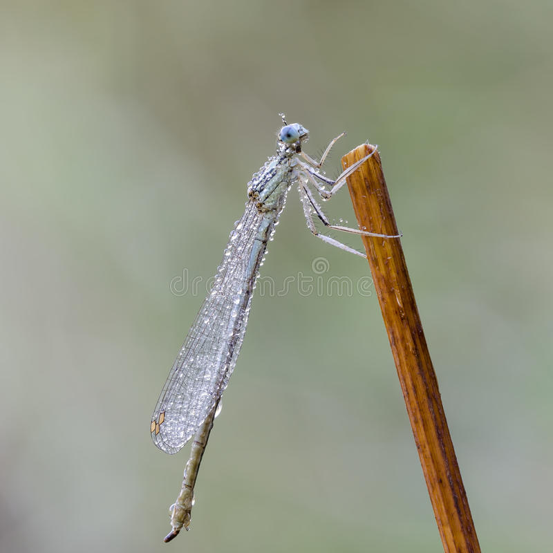 damselfly royaltyfria foton