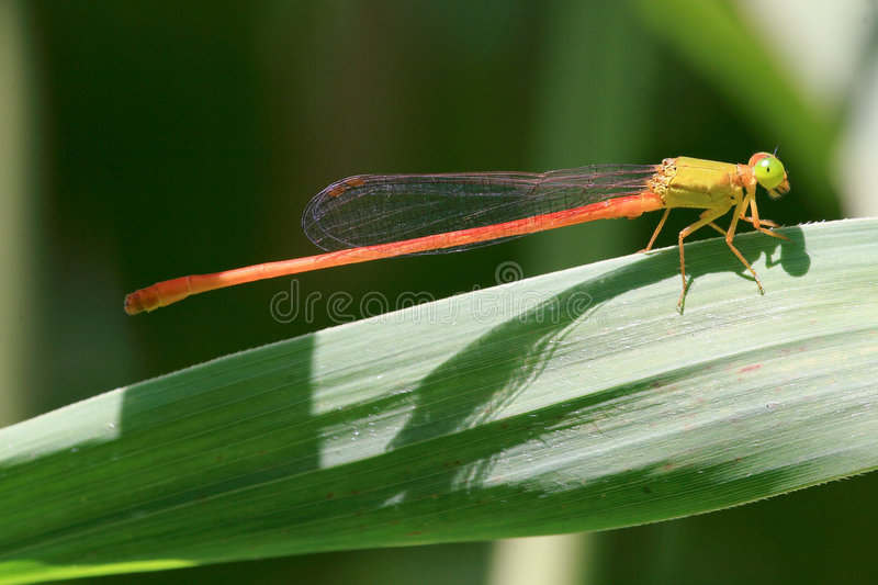 Damselfly foto de stock
