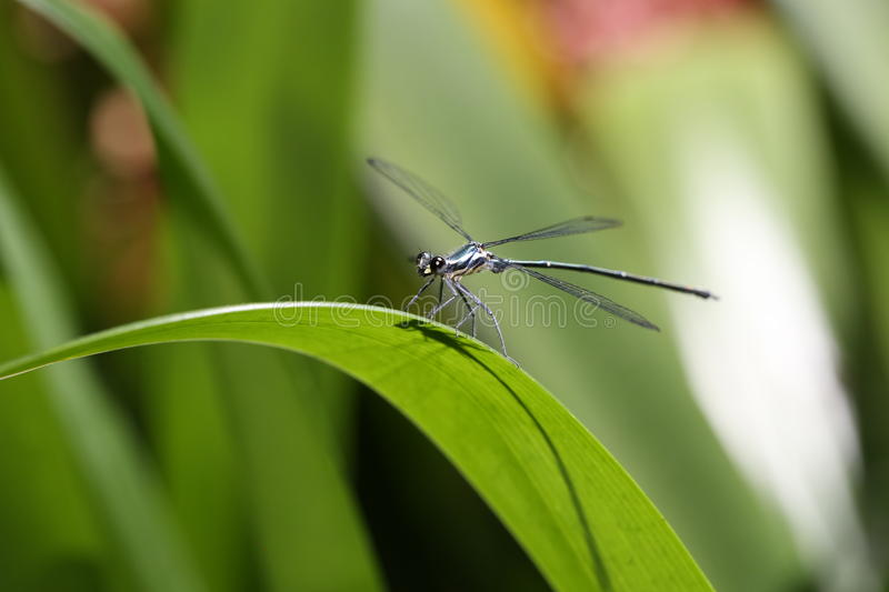 damselfly photo stock