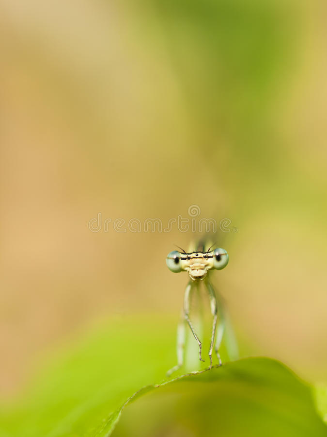 damselfly fotografia de stock royalty free