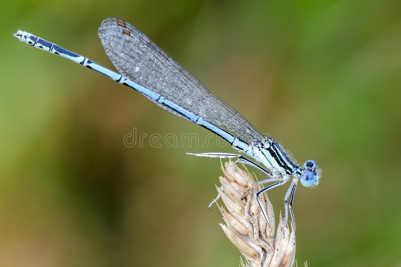 damselfly stockfotografie