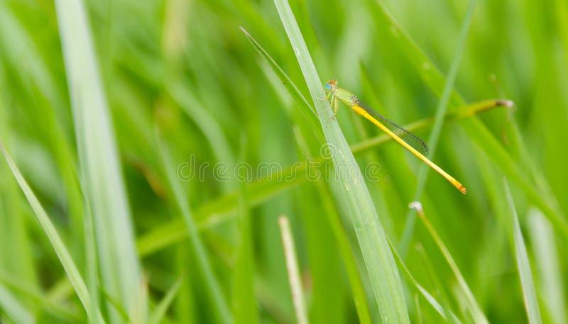 Damselfly Agriocnemis som sätta sig på det gröna gräset arkivbilder