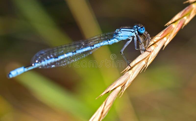 Damselfly azul foto de stock royalty free