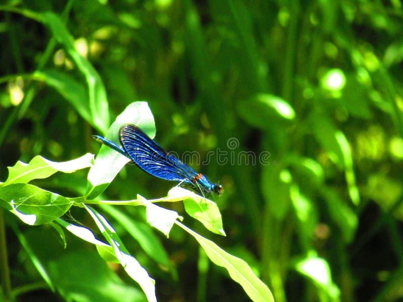 Damselfly azul imagens de stock