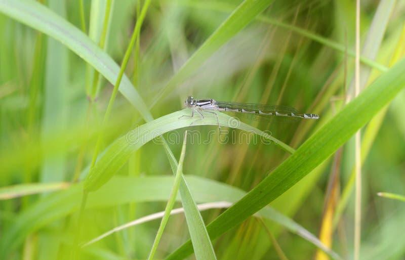 Damselfly azul común de la hembra en prado fotos de archivo