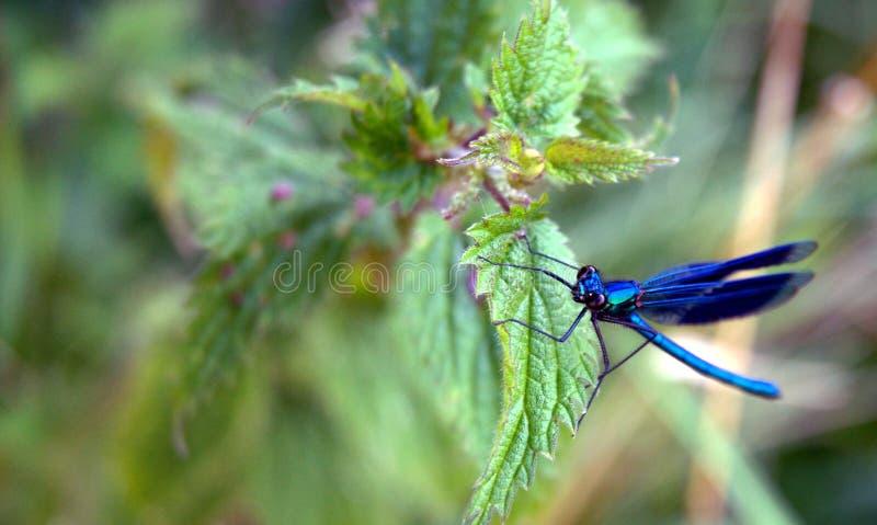 Damselfly azul comum fotografia de stock