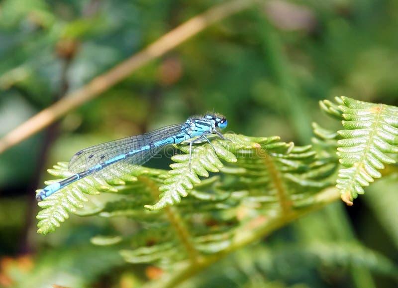Damselfly azul comum em uma folha da samambaia foto de stock