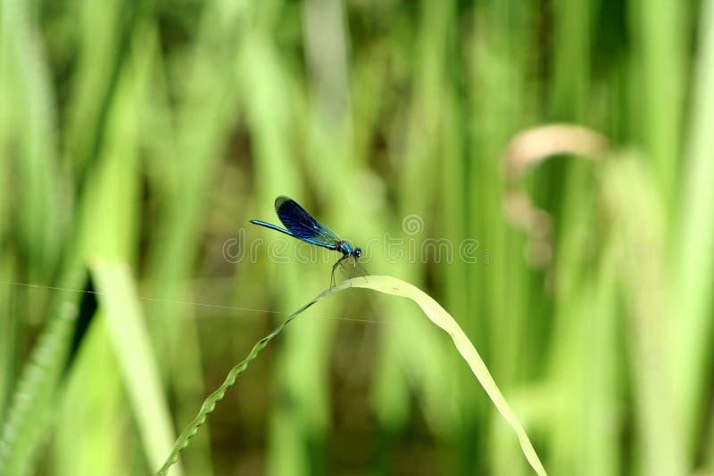Damselfly azul comum que descansa em uma folha do trigo fotos de stock royalty free