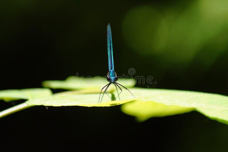 Damselfly bleu photos stock