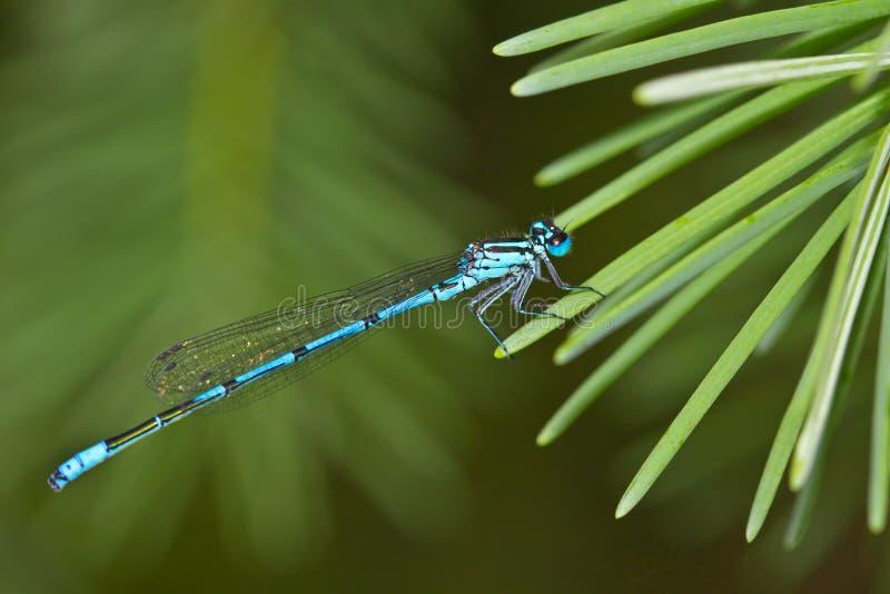 Damselfly bleu-suivi commun photo stock