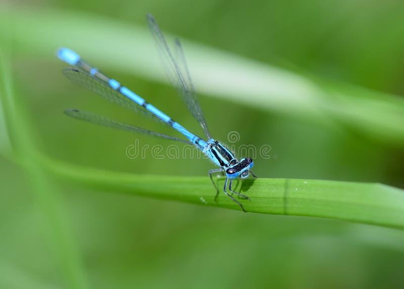 Damselfly blu comune immagini stock