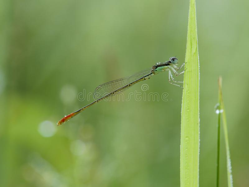 Damselfly on the grass with dew. Damselfly with body colour on the grass with dew stock photography