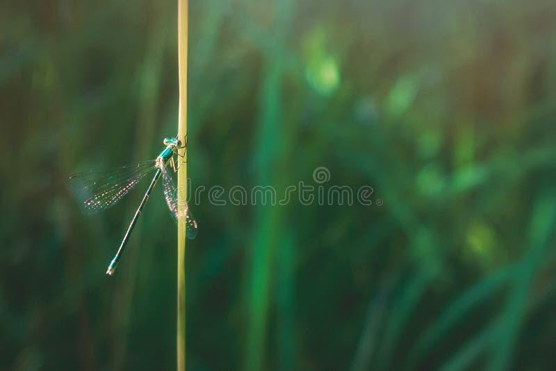 Damselfly on bright grass leaf. Lestes barbarus aka southern emerald damselfly on green grass leaf royalty free stock photos