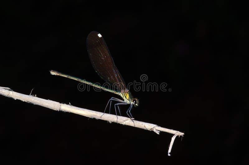 Damselfly Calopteryx στοκ φωτογραφίες με δικαίωμα ελεύθερης χρήσης